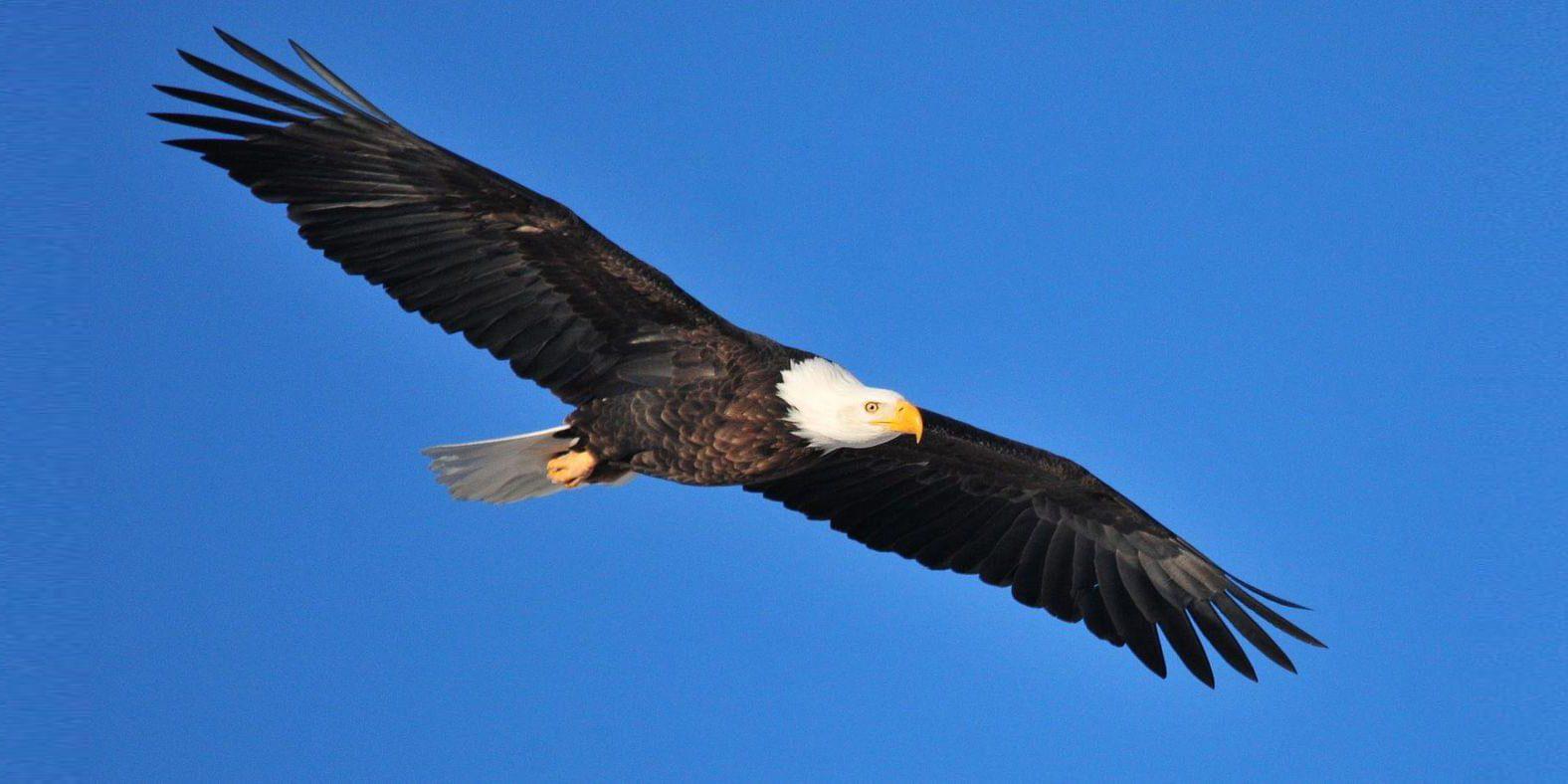 bald-eagle-banner
